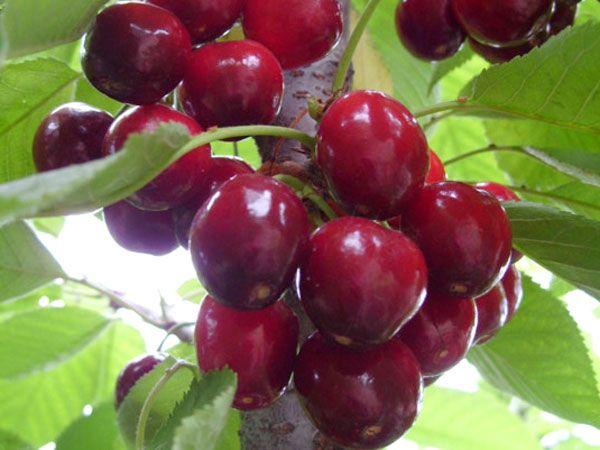 9公分大樱桃树苗