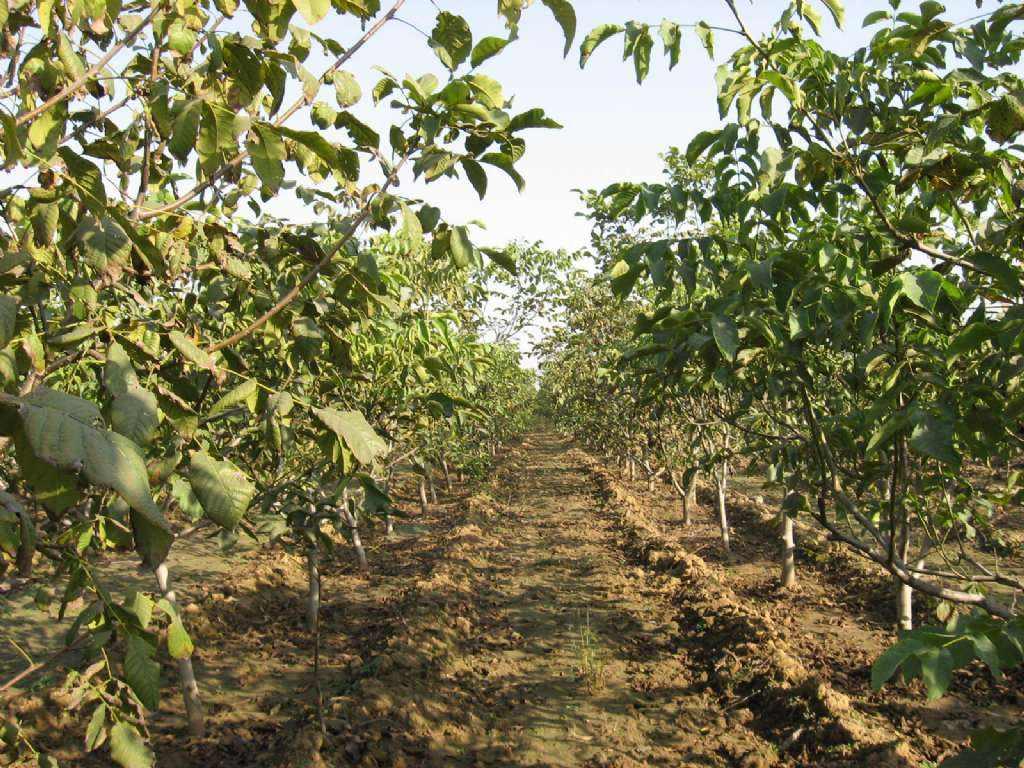 山西蘋果苗種植基地-哪里有供應果樹苗