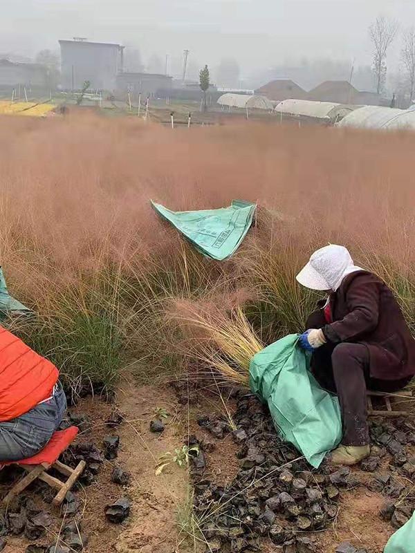 粉黛亂子草價格-想買合格的粉黛亂子草-就到綠碩花卉苗木