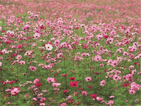 波斯菊种植基地