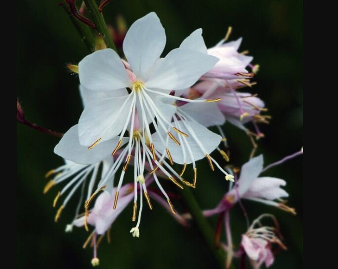 山桃草基地-想买实惠的山桃草-就到绿硕花卉苗木