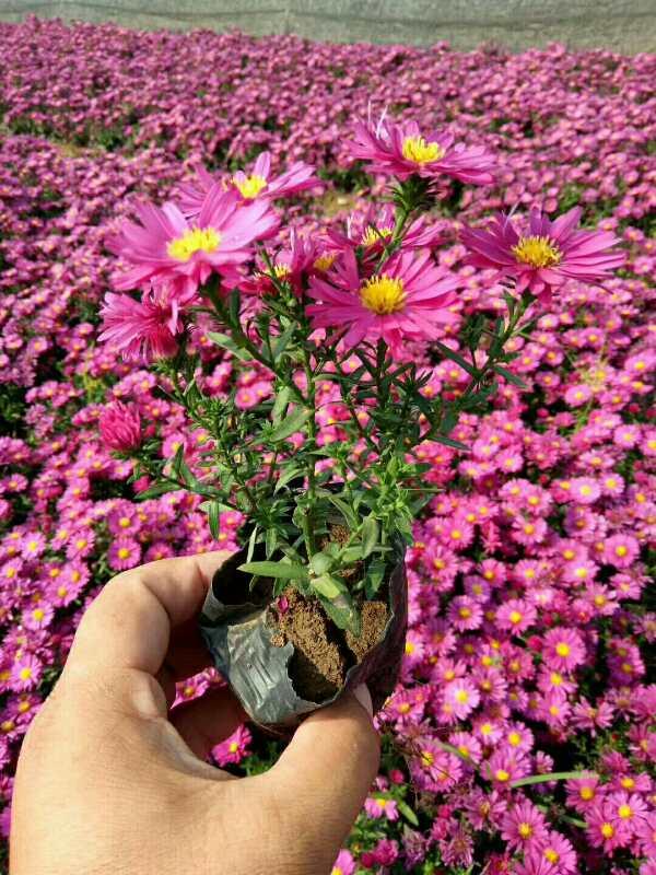 【go!购!√】宿根花卉批发商,宿根花卉供应商,合信花卉
