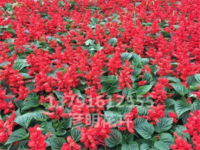花海专用花【一串红小苗】厂区绿化用花卉【彦明】