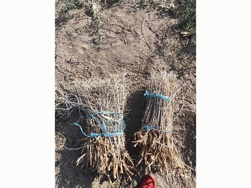 甘肃黑枸杞苗木-供应甘肃有品质的新疆黑枸杞苗
