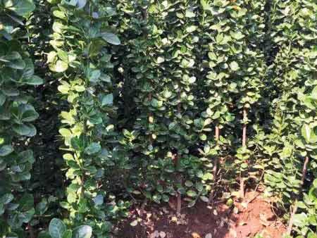 北海道黄杨批发-想要优惠的北海道黄杨就来泽轩花卉苗木