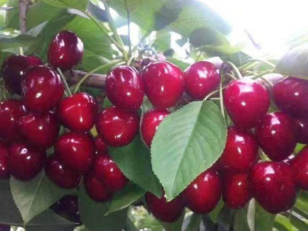 2公分大樱桃苗树苗价格-山东优良大樱桃苗批发