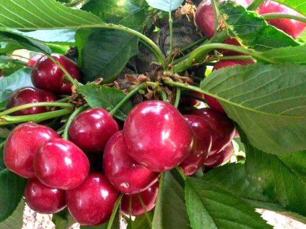 8公分福晨櫻桃苗-想要好的櫻桃苗就來泰盛園藝