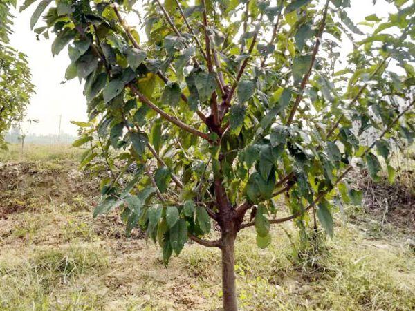 2公分矮化樱桃树苗-划算的矮化樱桃苗出售