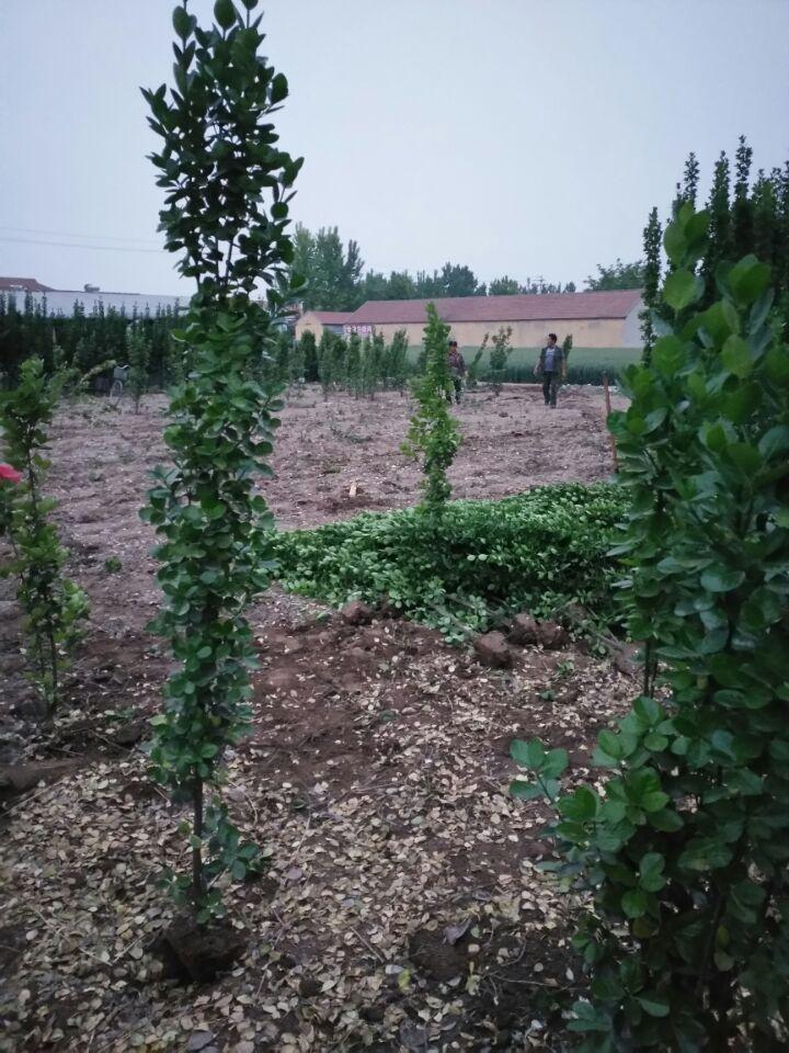 北海道黄杨种植-想要易种植的北海道黄杨就来四季花卉苗木