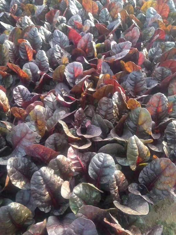 紅葉甜菜基地