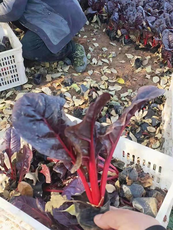 綠碩花卉苗木銷量好的紅葉甜菜出售