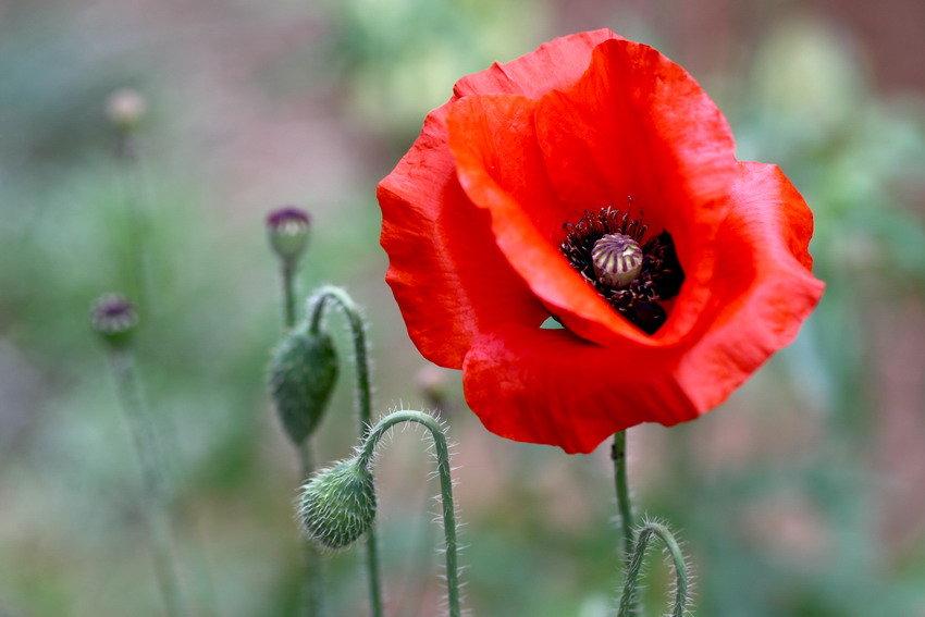 红色虞美人基地-有品质的红色虞美人哪里有供应