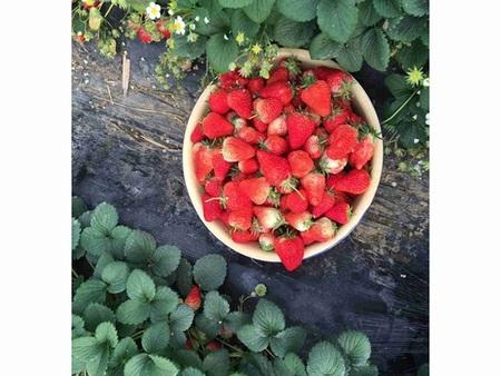 懷化草莓鮮果批發-丹東市哪里有供應劃算的草莓鮮果