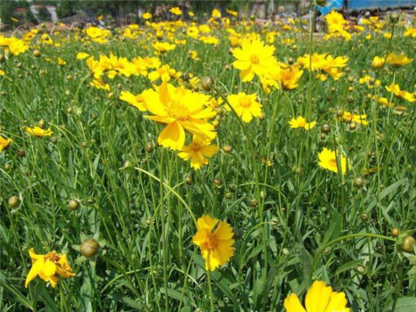 金鸡菊种植基地