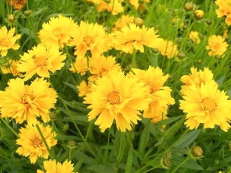 金鸡菊哪里卖,金鸡菊种植基地,金鸡菊基地
