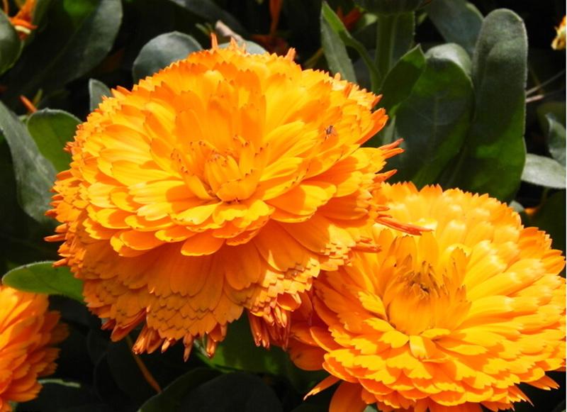 (花移玉树春)金盏菊哪家好,金盏菊培育基地,新大洲