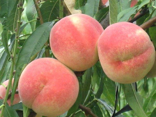湖南桃树苗-专业供应桃树苗