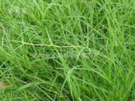 丹东草坪种子-盘锦草坪种子批发_铁岭草坪种子批发