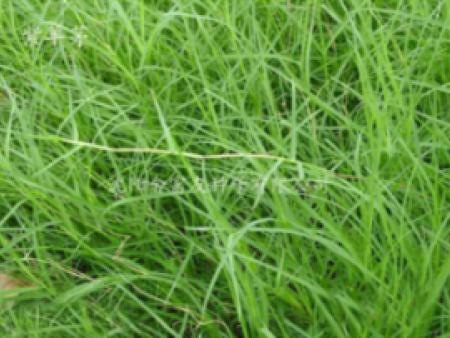 盘锦草坪种子|沈抚新区草坪种子零售|黑龙江草坪种子零售