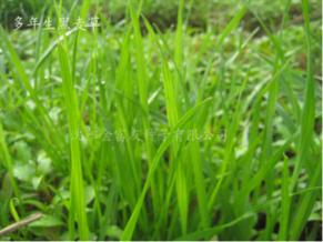大连草坪种子-大庆草坪种子价格-大兴安岭草坪种子价格