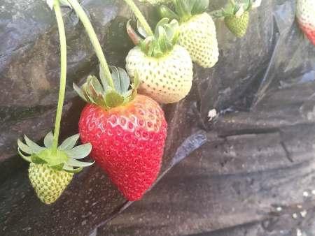 影响沈阳草莓种苗匍匐茎数量的因素是什么呢?