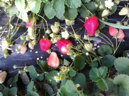 沈阳草莓种苗应该怎样种?