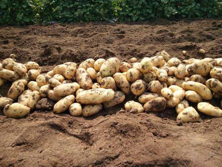 出售马铃薯种薯|荷兰种薯|选择金富友,值得信赖!