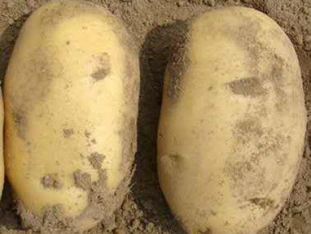 黑龍江馬鈴薯種薯-鶴崗馬鈴薯種薯批發|黑河馬鈴薯種薯批發