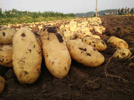 长春马铃薯种薯|沈抚新区马铃薯种薯价格-大庆马铃薯种薯价格