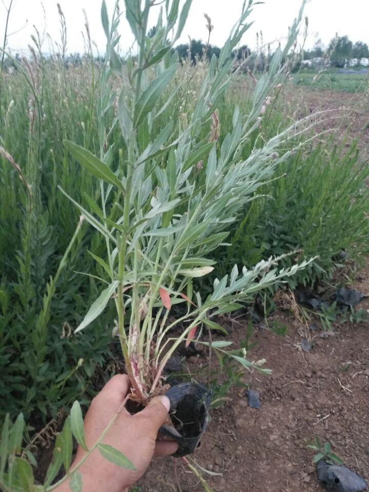 天津山桃草批发-山东省哪里有出售山桃草