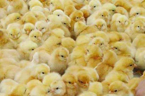 南宁鸡苗-想买优惠的贵州鸡苗-就到跃龙禽苗孵化