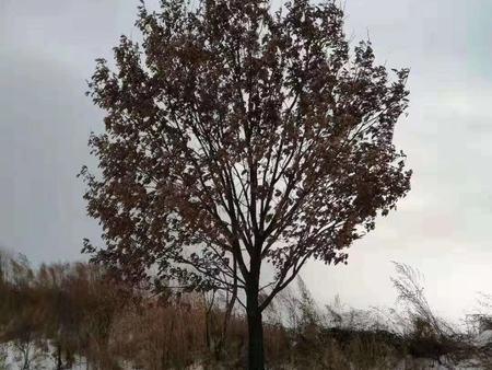 遼寧叢生蒙古櫟-大連叢生蒙古櫟種植-丹東叢生蒙古櫟種植