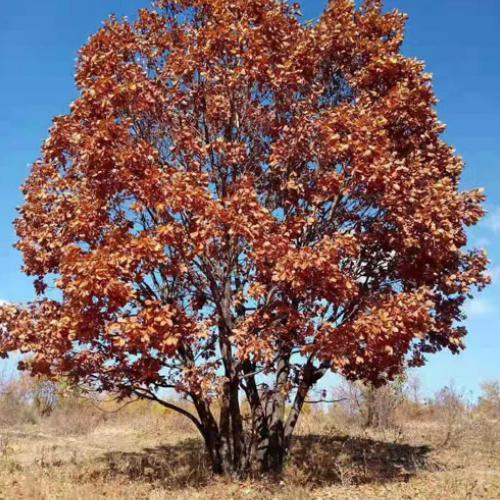 哪里有丛生茶条槭-丛生茶条槭代理-丛生茶条槭代理加盟