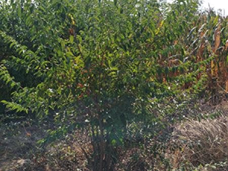 彩色绿化苗木,你知道怎样栽种吗?