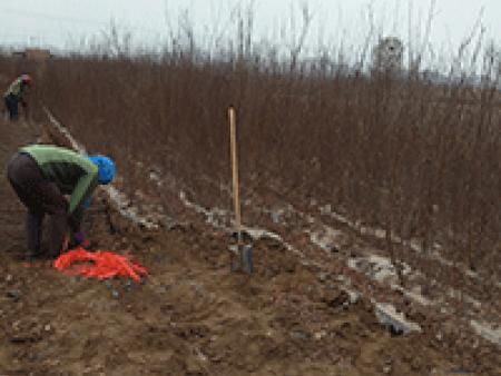 苗木的修剪的一般程序是什么?