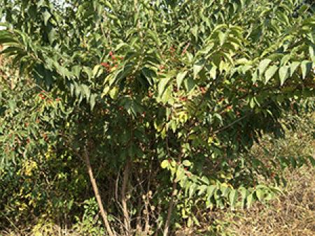 甘肃苗木批发_苗木种植基地_兰州金叶榆苗木销售