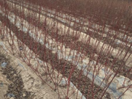 兰州碧桃苗木批发-哪里能买到花卉苗木?