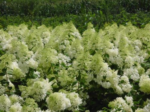 牡丹江大花水桠木价格-大花水桠木找沈阳美园苗木_品种优良