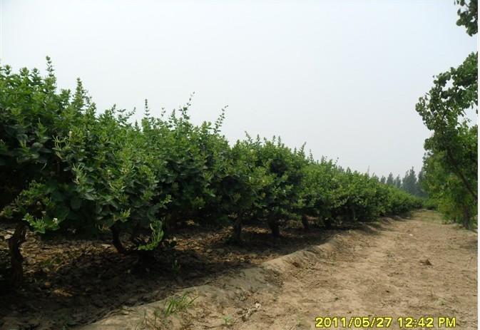臨沂品種好的金銀花種苗供應,山東金銀花種苗繁育基地
