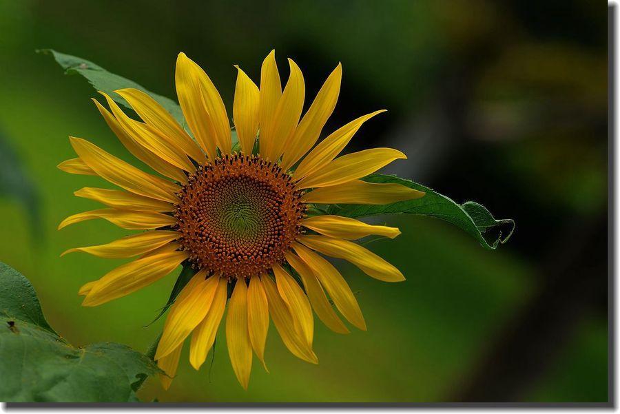 安徽太阳花哪家好-湖北太阳花出售-石家庄太阳花种植