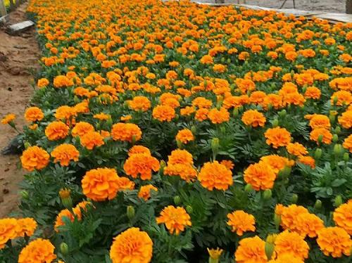 孔雀草供应-潍坊口碑好的商-孔雀草供应