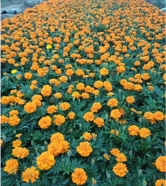 双色盆孔雀草,青州双色盆孔雀草,双色盆孔雀草基地