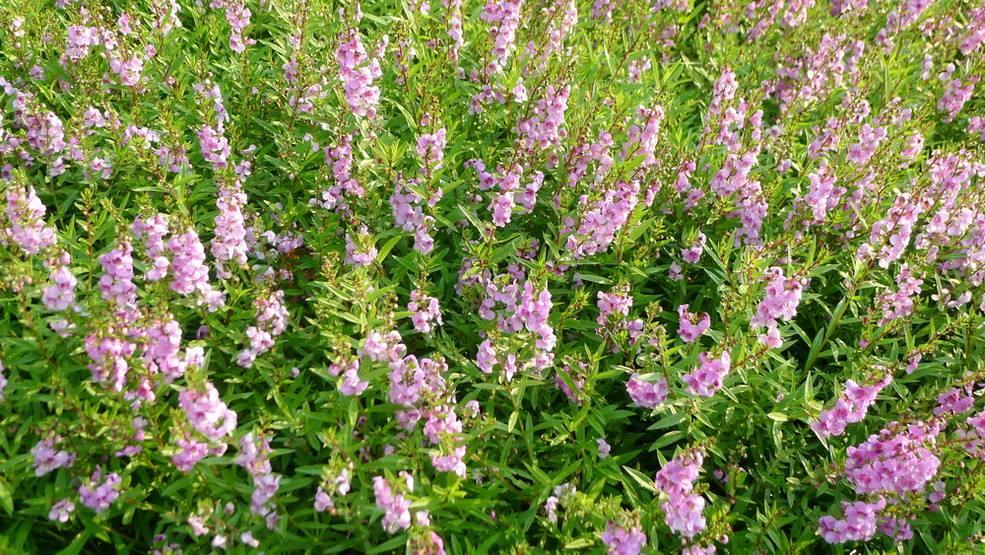 香彩雀種植基地——香彩雀小苗