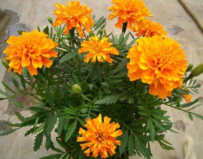 四季海棠批發價格-四季海棠穴盤苗#你的小可愛{明波花卉}??