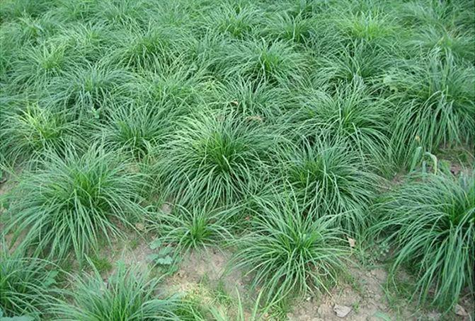 青绿苔草,青绿苔草批发,青绿苔草价格