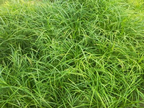 崂峪苔草,崂峪苔草批发商,崂峪苔草哪里卖