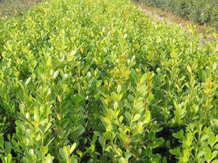 大叶黄杨哪里卖-供应山东有品质的小叶黄杨