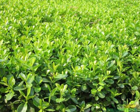 大叶黄杨种植基地,大叶黄杨批发商,大叶黄杨供应