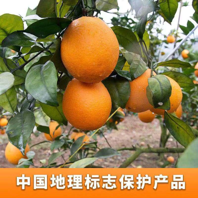 百色广西德保沃柑-广西优良的百色广西德保脐橙生产基地