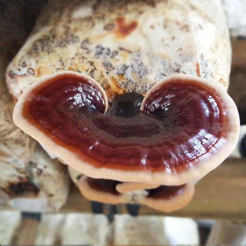 广西热门广西特产紫灵芝_广西万国农业集团实惠的广西特产紫灵芝出售
